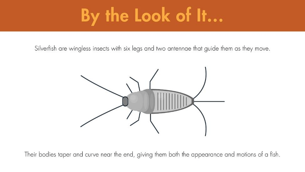 Silverfish are wingless insects with six legs and two antennae that guide them as they move. Their bodies taper and curve near the end, giving them both the appearance and motions of a fish.