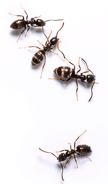 100 flying ants in bathroom sink useful tips on how