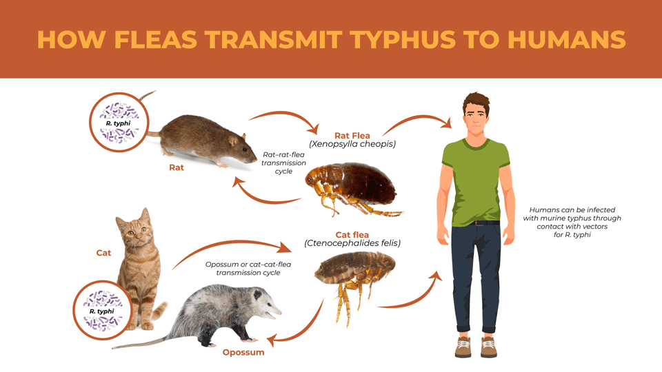 Illustrated chart of the path fleas take to transmit murine typhus to humans.