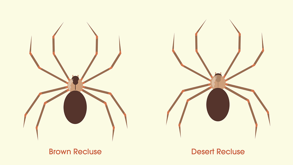 Illustration featuring the key differences of a brown recluse and a desert recluse.