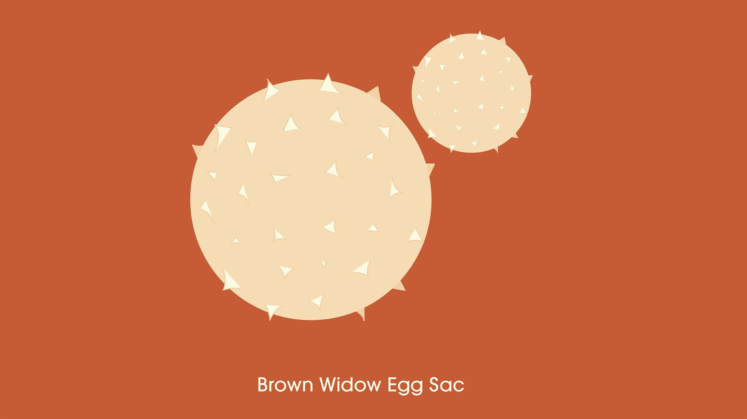 Illustration featuring close-up details of brown widow egg sacs.
