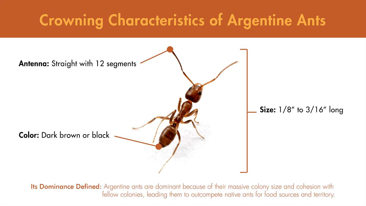 Illustration featuring the visual characteristics of the Argentine ant.