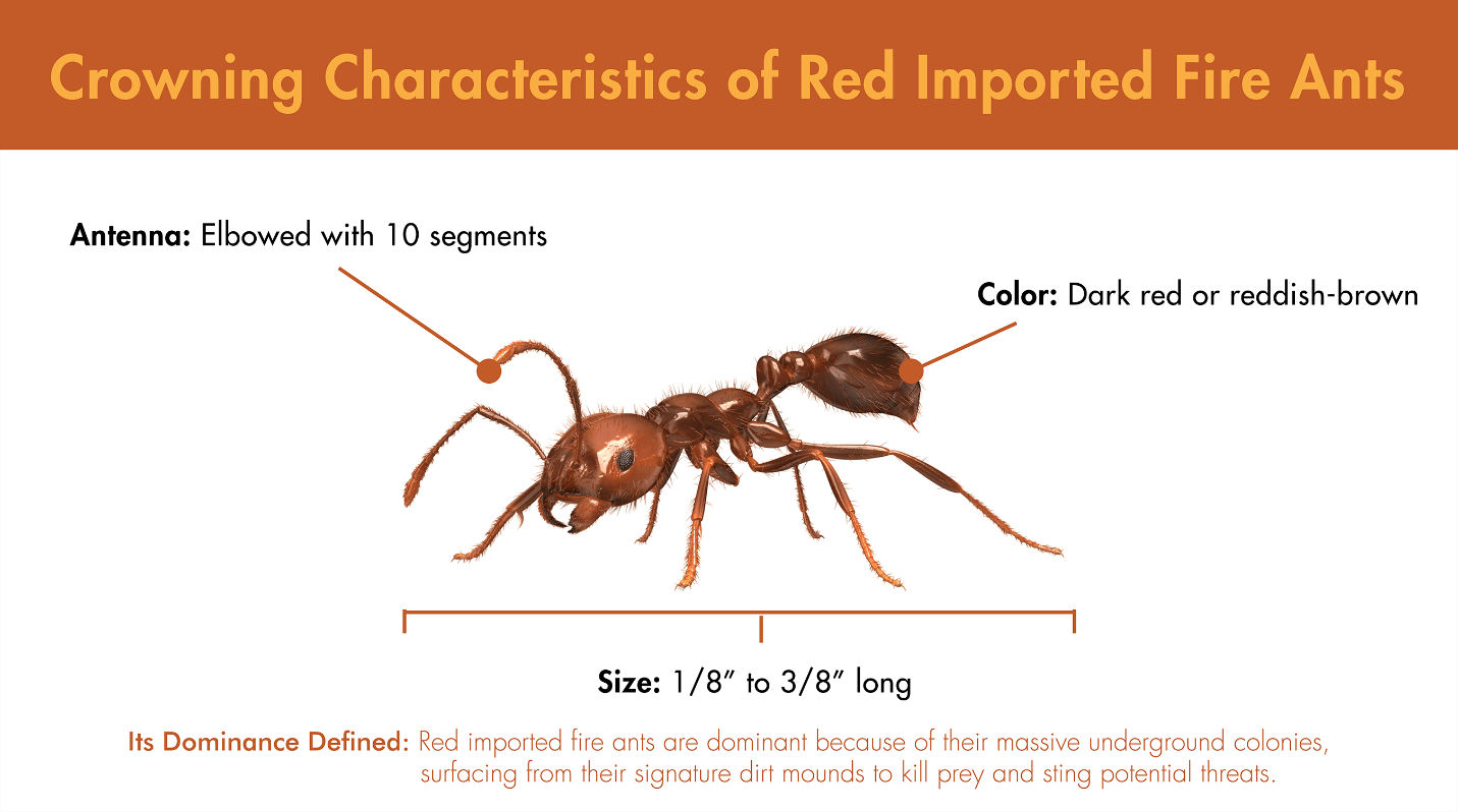 Illustration featuring the defining characteristics of Red Imported Fire Ants.