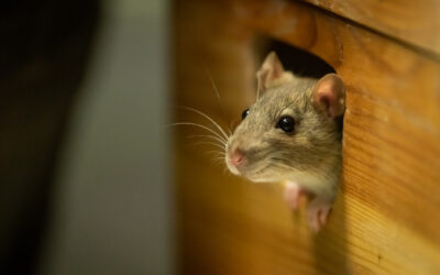 How to Protect Your Home Against Rats, Mice, and Other Rodents