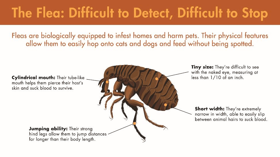 Fleas are difficult to detect ans difficult to stop. They are biologically equipped to infest homes and harm pets. Their physical features, from their cylindrical mouth and jumping ability to tiny size and short width, allow them to easily hop onto cats and dogs and feed without being spotted.