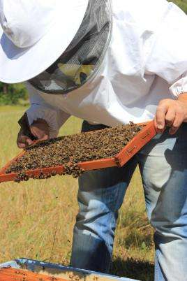 Bee Keeper inspecting a hive with colony collapse disorder