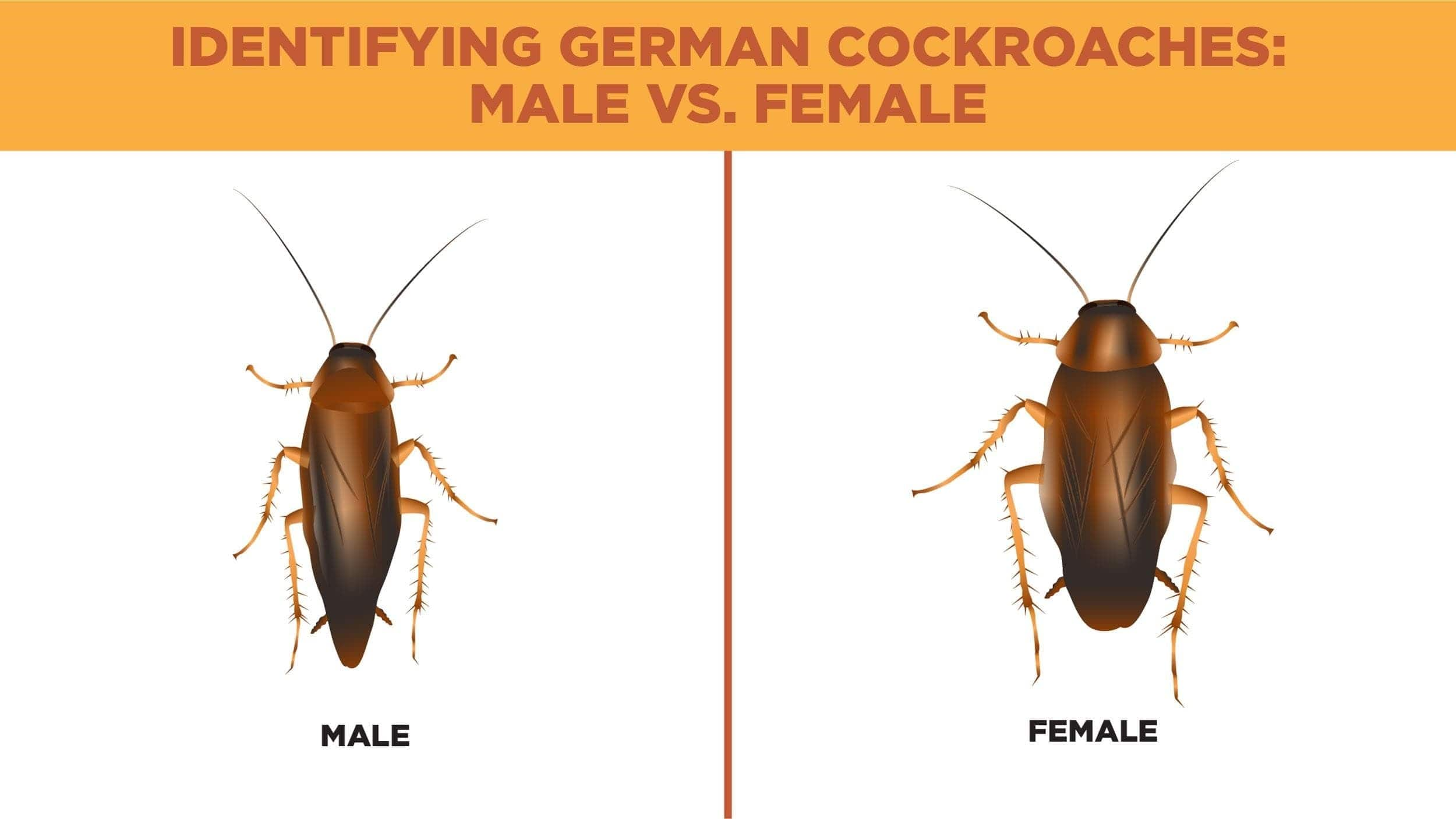 Identifying German cockroaches illustration featuring physical differences between male and female roaches.