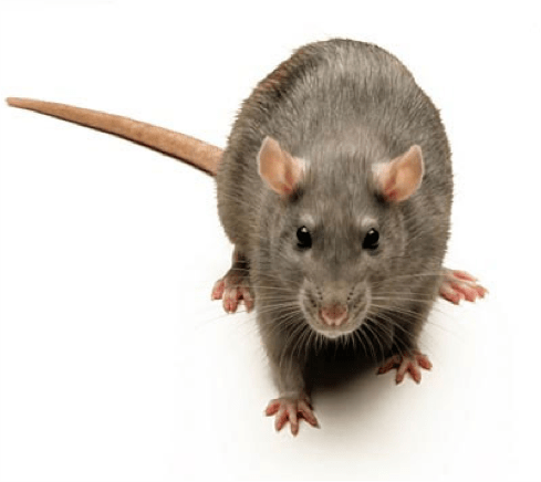 a common rat