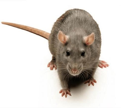a common rat