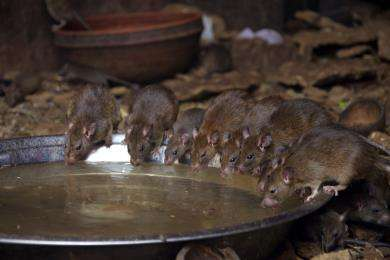 Rats drinking water