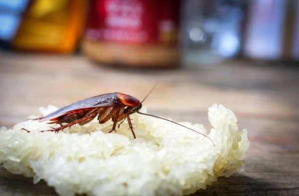 an image of a cockroach resting on a pile of sticky rice on a kitchen counter-top